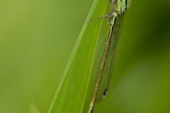 Dragon/Damselfly