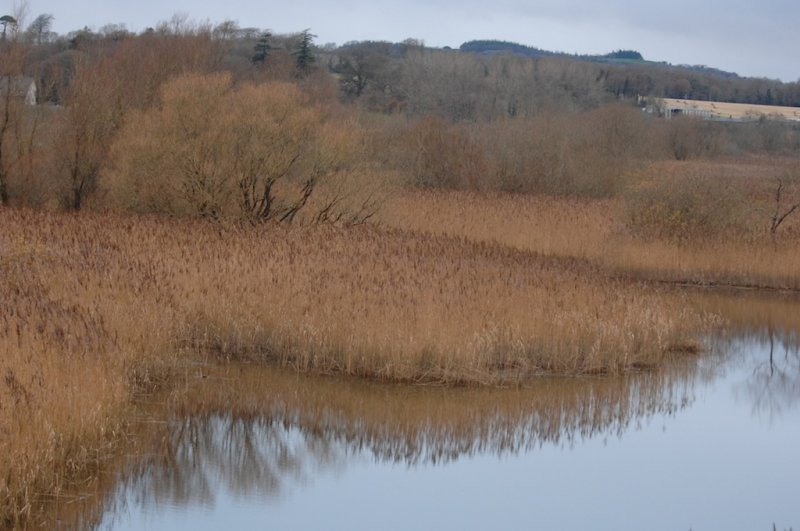 Jamestown reed bed