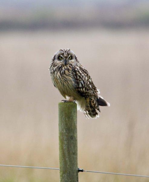 short-eared-owl-1