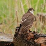 Sparrowhawk (Female\0