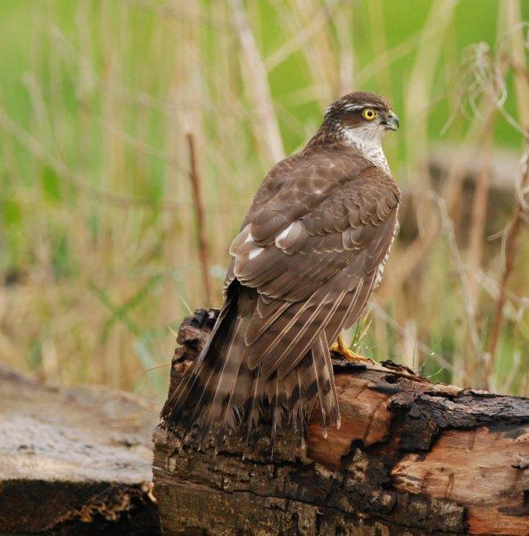 Sparrowhawk (Female\0