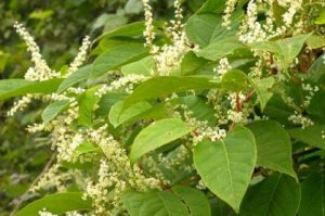 knotweed-japanese