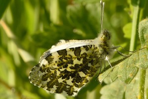 Orange Tip (female)
