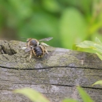 Wool Carder Bee