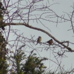 Female and Male Chaffinches