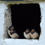 Swallows in the garage hole for email