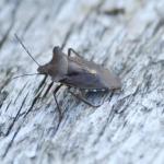 Forest shieldbug
