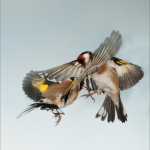goldfinch bird aggression