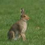 Irish blue hare