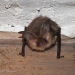 longeared-bat-1-of-1