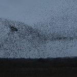 Jamestown starling roost