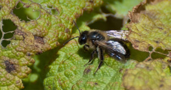 andrena-solitary-bee