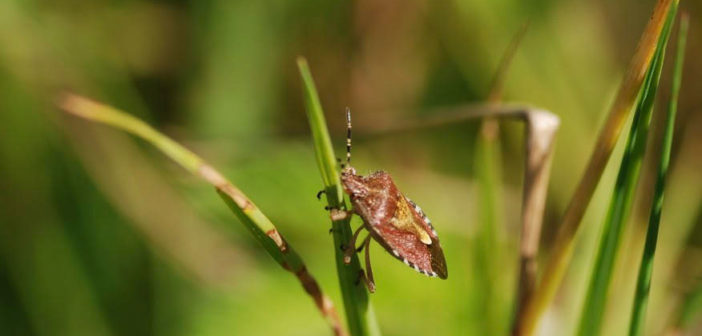Hairy Shieldbug by David Daly