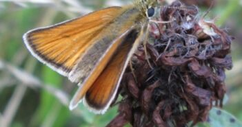 Essex Skipper Photo Brian OConnor